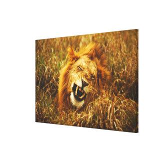 Africa, Kenya, Maasai Mara. Male lion. Wild Stretched Canvas Prints