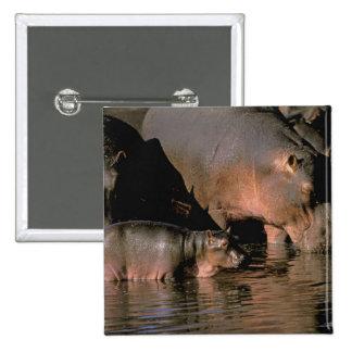 Africa, Kenya, Masai Mara. Common hippopotamuses 15 Cm Square Badge