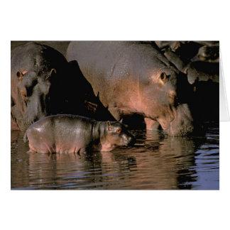 Africa, Kenya, Masai Mara. Common hippopotamuses Card
