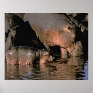 Africa, Kenya, Masai Mara. Common hippopotamuses Poster