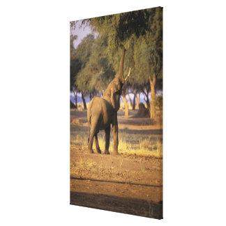 Africa, Kenya, Masai Mara. Elephant (Loxodonta Canvas Print