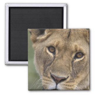 Africa, Kenya, Masai Mara Game Reserve, 2 Magnet