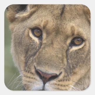 Africa, Kenya, Masai Mara Game Reserve, 2 Square Sticker