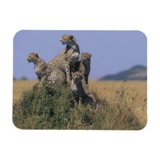 Africa, Kenya, Masai Mara Game Reserve, Adult 4 Rectangular Photo Magnet