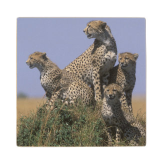 Africa, Kenya, Masai Mara Game Reserve, Adult 4 Wood Coaster