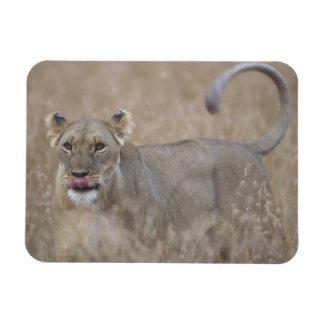 Africa, Kenya, Masai Mara Game Reserve, Adult 6 Rectangular Photo Magnet