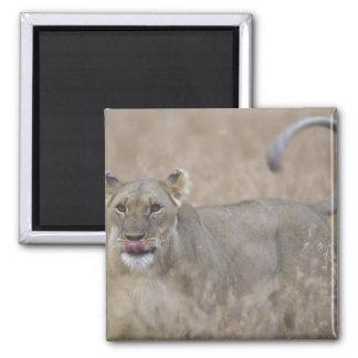 Africa, Kenya, Masai Mara Game Reserve, Adult 6 Square Magnet