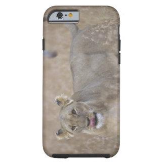Africa, Kenya, Masai Mara Game Reserve, Adult 6 Tough iPhone 6 Case