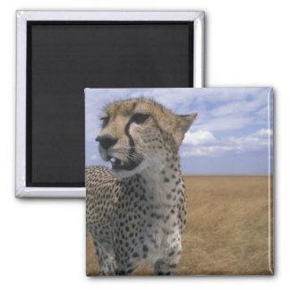 Africa, Kenya, Masai Mara Game Reserve, Adult Magnet