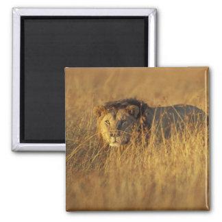 Africa, Kenya, Masai Mara Game Reserve, Adult Refrigerator Magnet