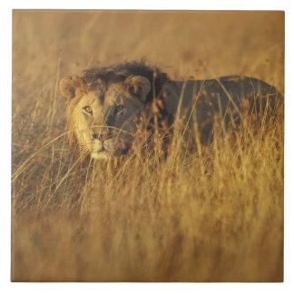 Africa, Kenya, Masai Mara Game Reserve, Adult Tile