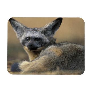 Africa, Kenya, Masai Mara Game Reserve, Bat Rectangular Photo Magnet