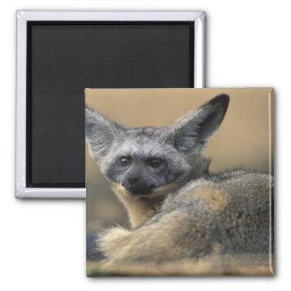 Africa, Kenya, Masai Mara Game Reserve, Bat Square Magnet