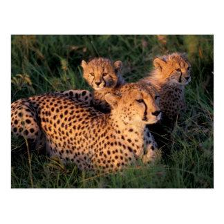 Africa, Kenya, Masai Mara Game Reserve. Cheetah 2 Postcard