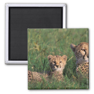 Africa, Kenya, Masai Mara Game Reserve. Cheetah Square Magnet