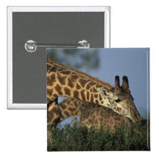 Africa, Kenya, Masai Mara Game Reserve, Giraffes 15 Cm Square Badge
