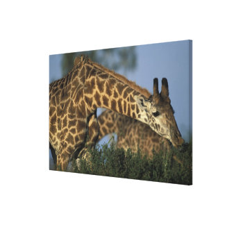 Africa, Kenya, Masai Mara Game Reserve, Giraffes Canvas Print