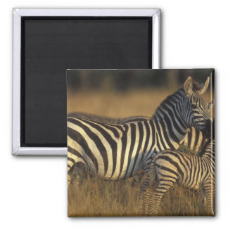 Africa, Kenya, Masai Mara Game Reserve. Plains Square Magnet