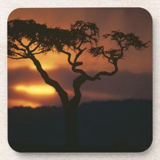 Africa, Kenya, Masai Mara Game Reserve, Setting Coaster