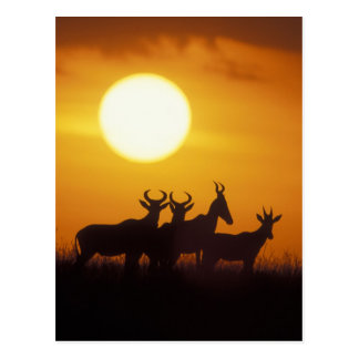 Africa, Kenya, Masai Mara Game Reserve, Topi Postcard