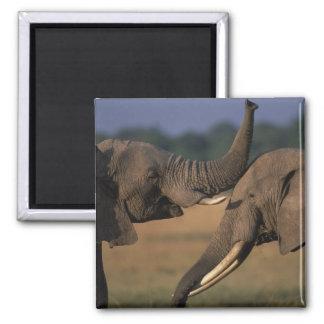 Africa, Kenya, Masai Mara Game Reserve, Two Bull Square Magnet