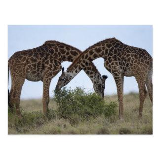 Africa Kenya Masai Mara Game Reserve Two Post Card