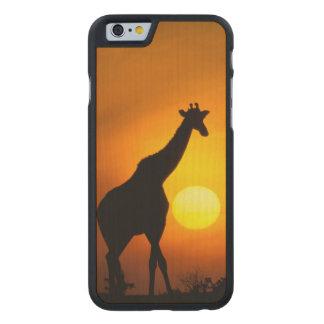 Africa, Kenya, Masai Mara. Giraffe (Giraffe Carved Maple iPhone 6 Case