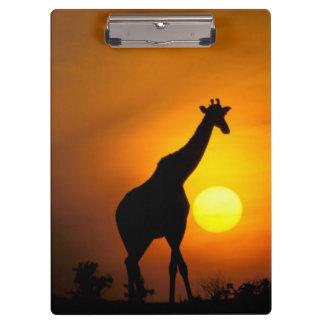 Africa, Kenya, Masai Mara. Giraffe (Giraffe Clipboard