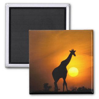 Africa, Kenya, Masai Mara. Giraffe (Giraffe Magnet
