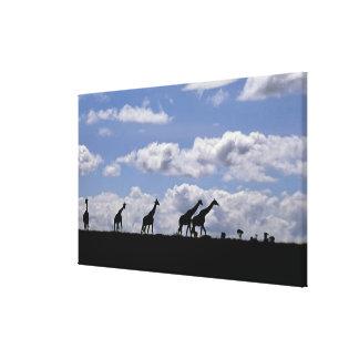 Africa,Kenya,Masai Mara. Giraffes (Giraffa Canvas Print