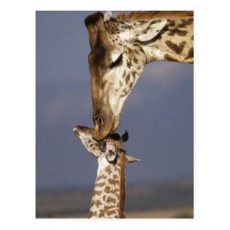 Africa, Kenya, Masai Mara. Giraffes (Giraffe Postcard