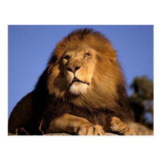 Africa, Kenya, Masai Mara. Male lion (Panthera Postcard