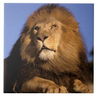 Africa, Kenya, Masai Mara. Male lion (Panthera Tile