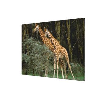 Africa, Kenya, Masai Mara. Masai giraffe Stretched Canvas Print