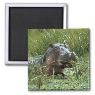 Africa, Kenya, Masai Mara NR. A mother hippo and Magnet