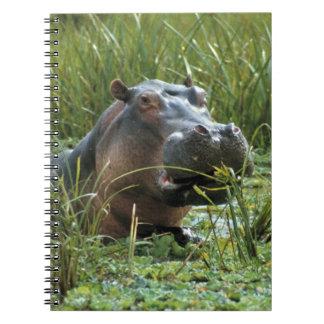 Africa, Kenya, Masai Mara NR. A mother hippo and Notebook