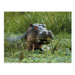 Africa, Kenya, Masai Mara NR. A mother hippo and Post Card
