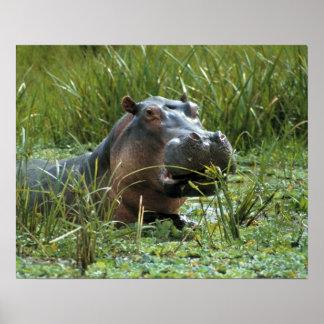 Africa, Kenya, Masai Mara NR. A mother hippo and Poster