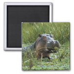 Africa, Kenya, Masai Mara NR. A mother hippo and Square Magnet