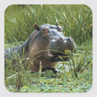Africa, Kenya, Masai Mara NR. A mother hippo and Square Sticker