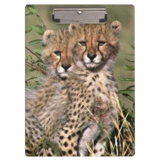 Africa; Kenya; Masai Mara; Three cheetah cubs Clipboard