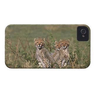 Africa; Kenya; Masai Mara; Three cheetah cubs iPhone 4 Case