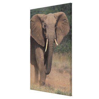 Africa Kenya Nanyuki Mpala African Elephant Gallery Wrap Canvas