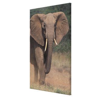 Africa, Kenya, Nanyuki, Mpala. African Elephant. Gallery Wrap Canvas