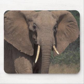 Africa, Kenya, Nanyuki, Mpala. African Elephant. Mouse Pad