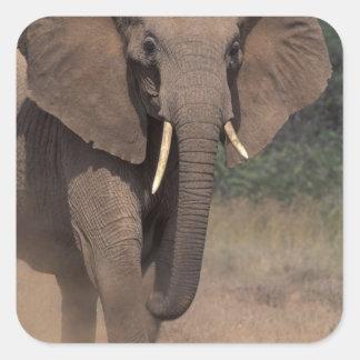 Africa, Kenya, Nanyuki, Mpala. African Elephant. Square Sticker