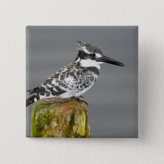 Africa. Kenya. Pied Kingfisher at Lake Naivasha. 15 Cm Square Badge