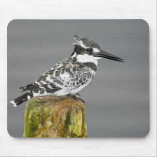Africa. Kenya. Pied Kingfisher at Lake Naivasha. Mouse Pad