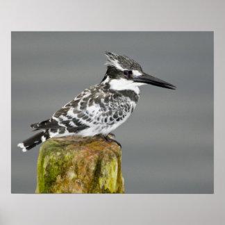 Africa. Kenya. Pied Kingfisher at Lake Naivasha. Poster
