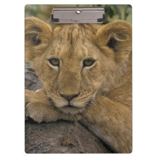 Africa, Kenya. Portrait of a lion. Clipboard